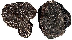 Canelli gleba di Tartufo nero pregiato
