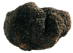 Canelli tuber melanosporum Vittadini