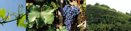 vitigno dolcetto Canelli