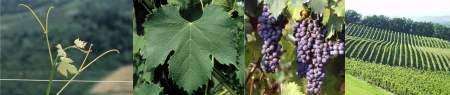 vitigno freisa Canelli