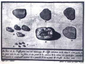 Truffes du Pièmont - De Borch 1780